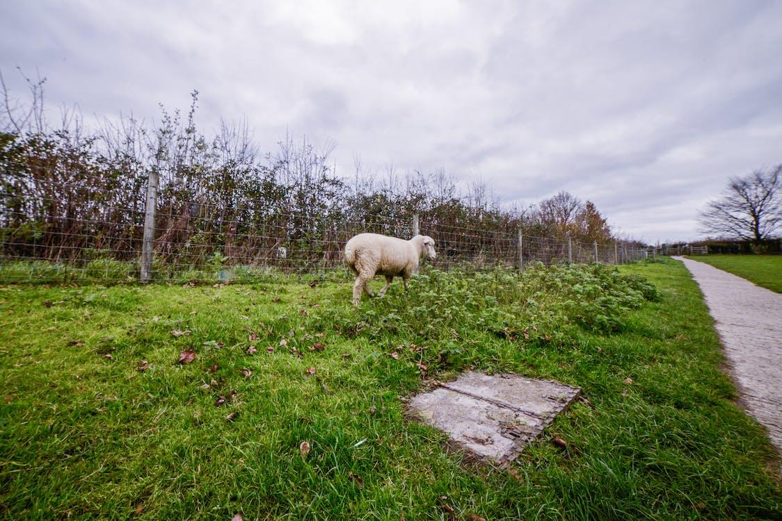 çim saha, koyun, koyunlar içeren Ücretsiz stok fotoğraf
