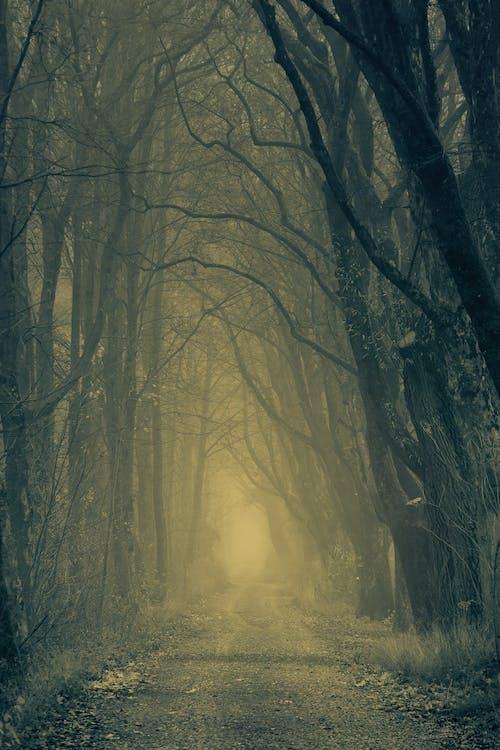 Imagine de stoc gratuită din arbori, cale, ceață, codru