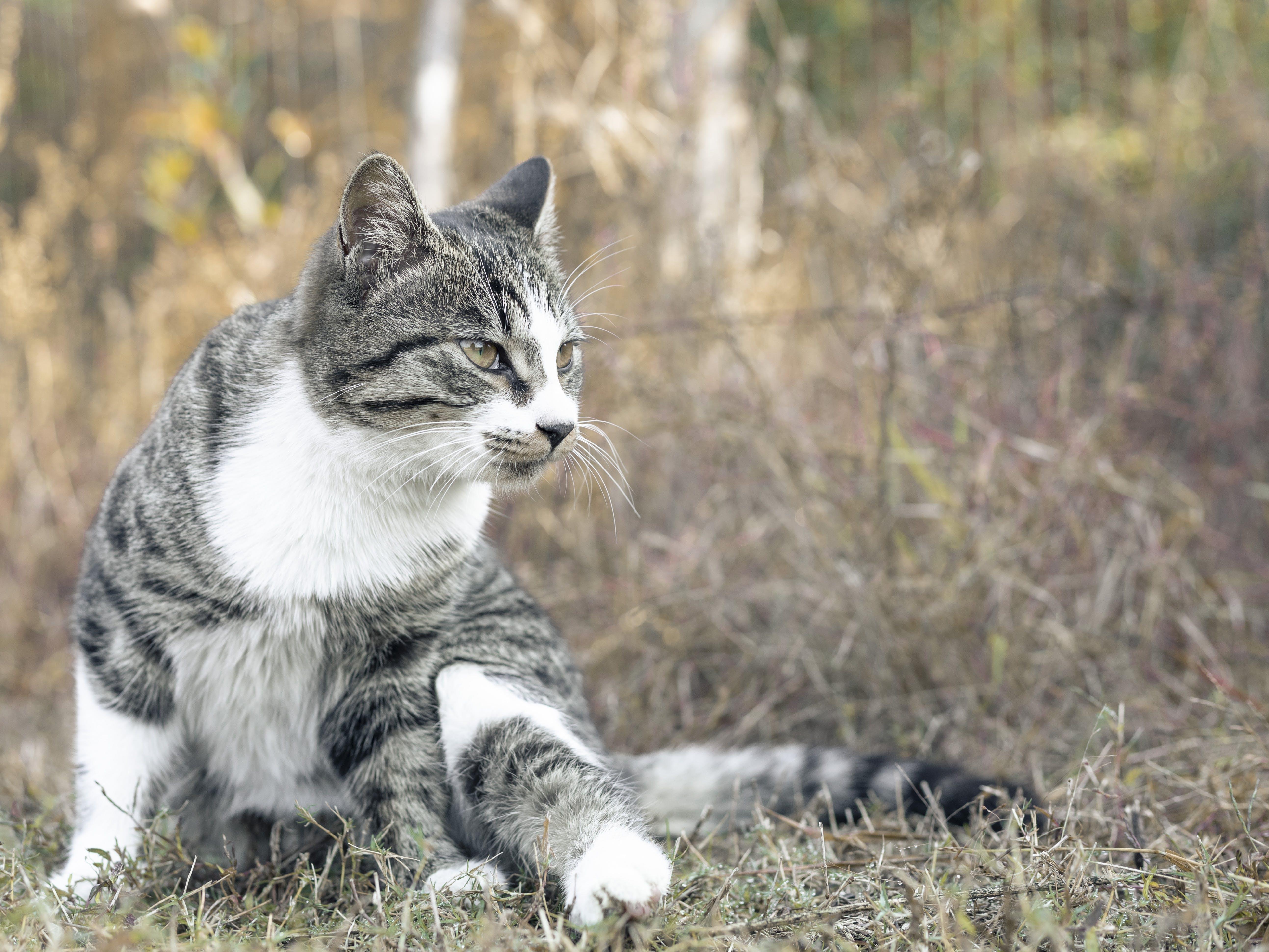 Free stock photo of big cat, cat