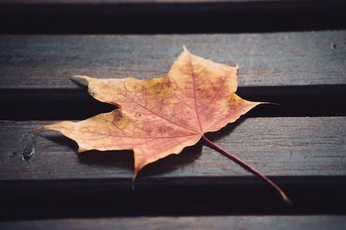 Gratis arkivbilde med årstid, fokus, klar, lønneblader