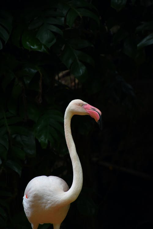 Standing White Flamingo