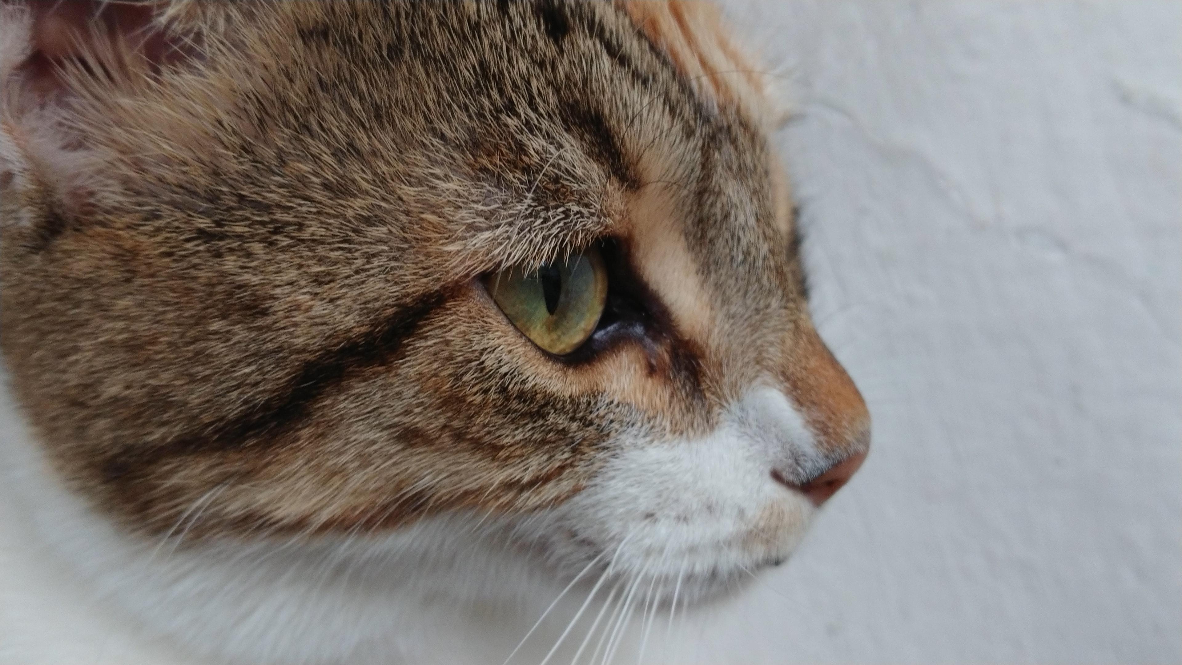 Free stock photo of animals, cat, cat eye