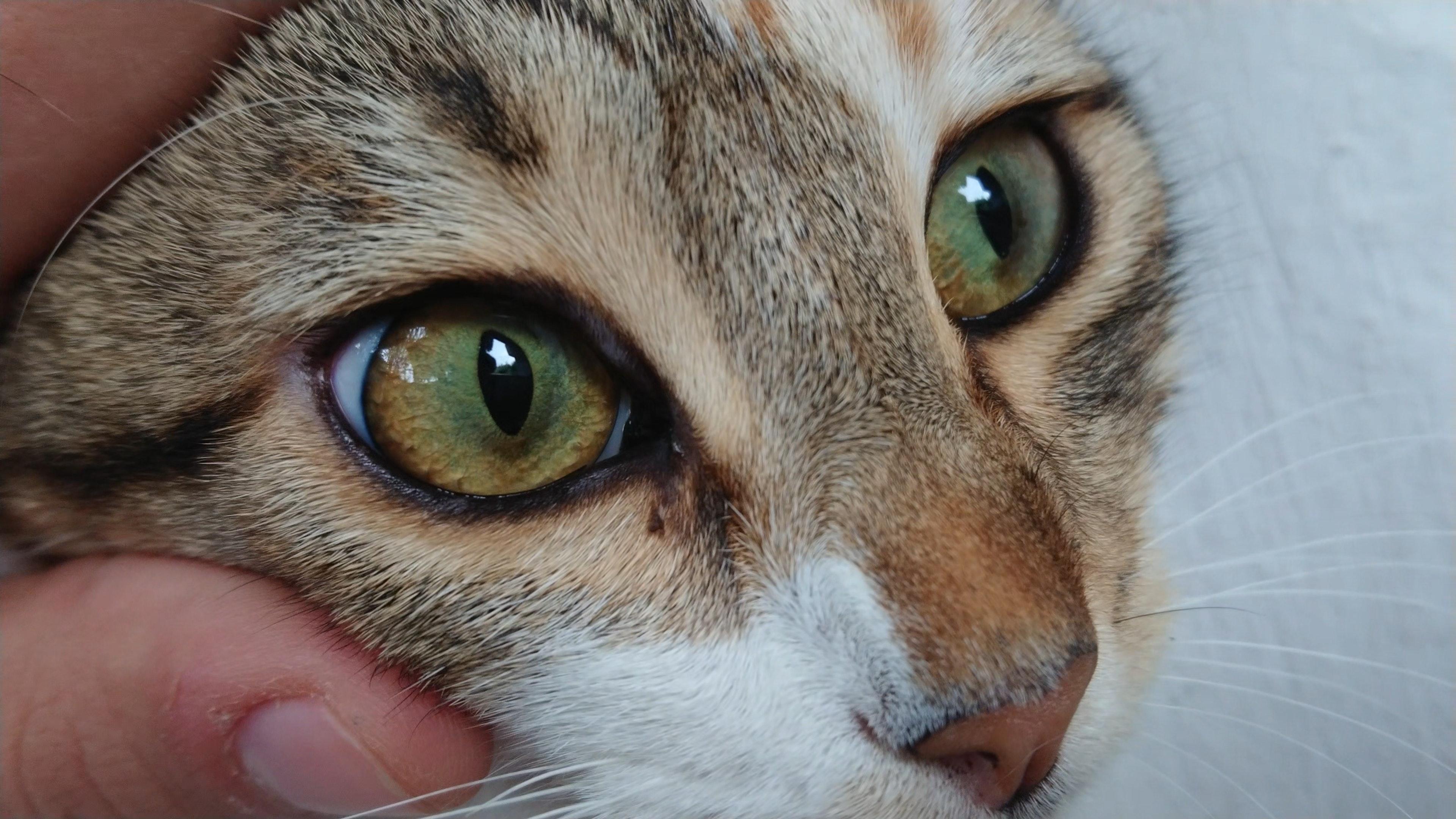 Free stock photo of cat eye, cat face, cute animals