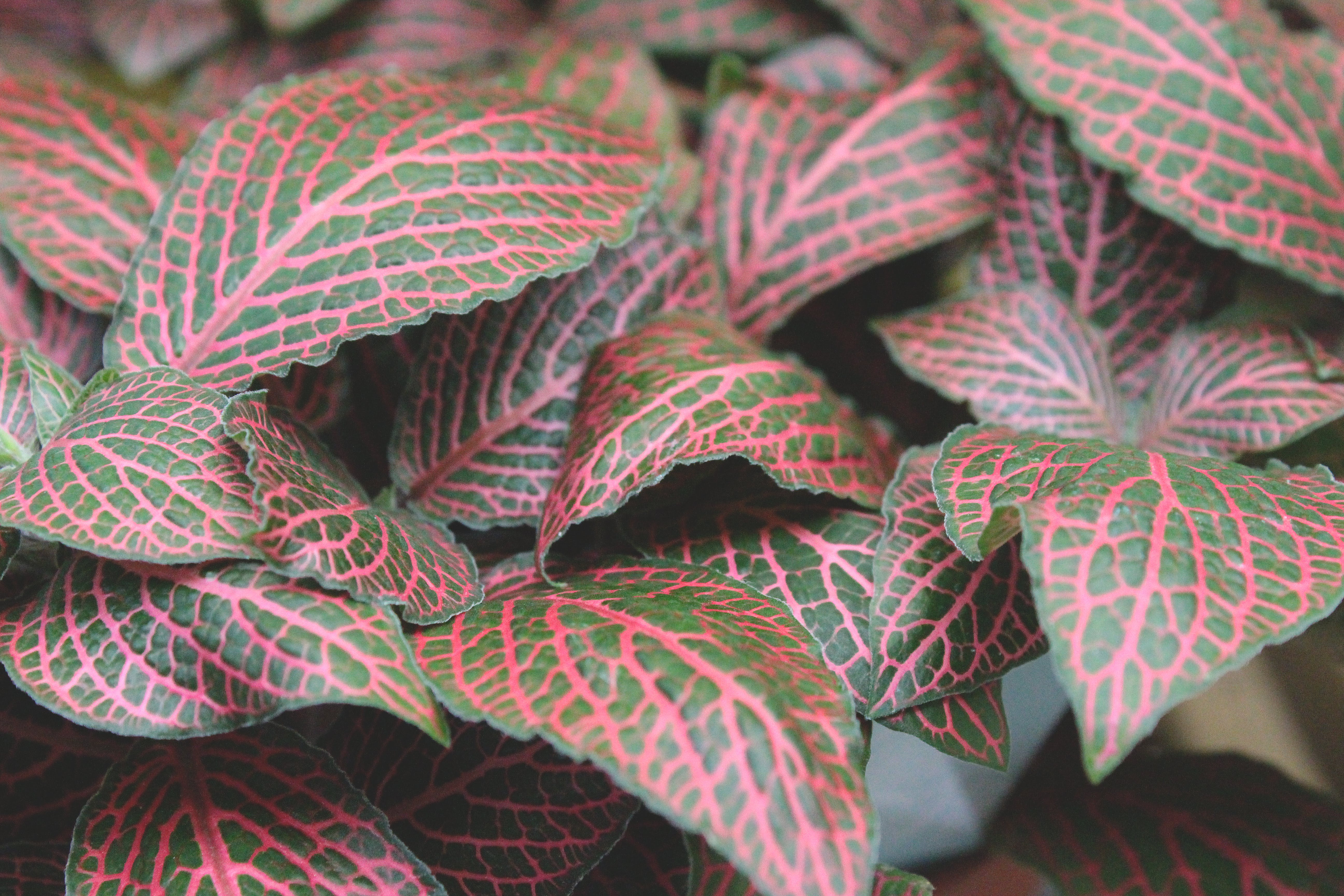 Maroon and Green Leaves on Focus Photo