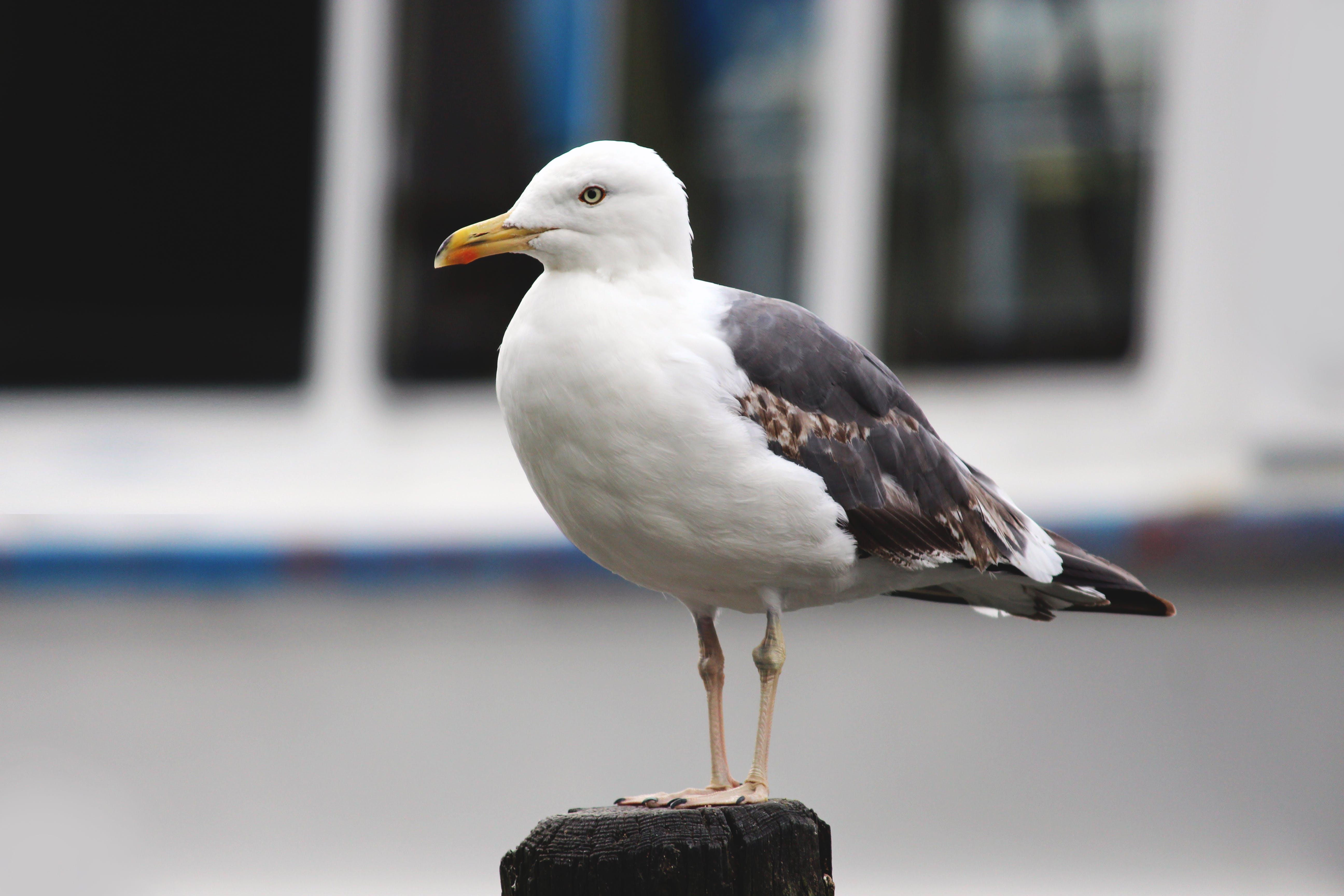 Free stock photo of animal, bird, european, feather