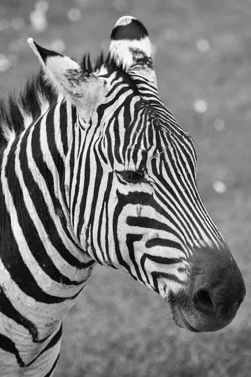 검은색, 동물, 블랙 앤 화이트, 아프리카의 무료 스톡 사진