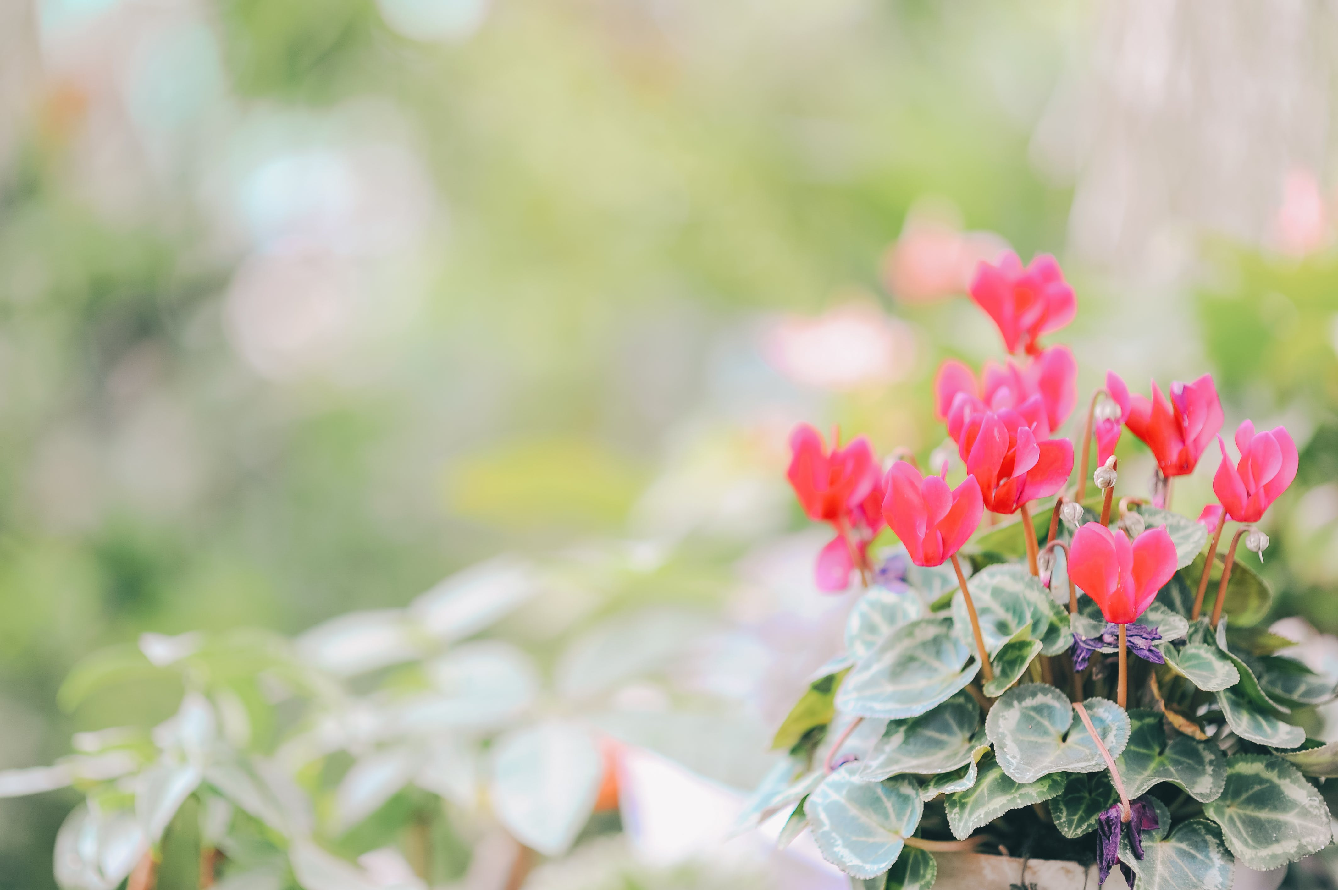 Close-up Photography of Red Petaled Flowers