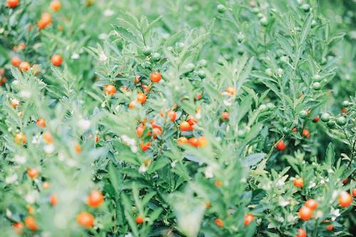 คลังภาพถ่ายฟรี ของ การเกษตร, การเจริญเติบโต, ทุ่งเลี้ยงสัตว์, นา
