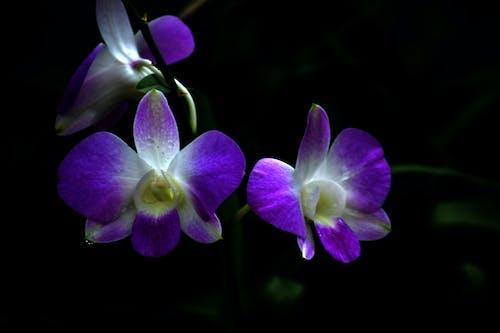 斯里蘭卡, 美麗的花朵, 花, 蘭花 的 免费素材照片