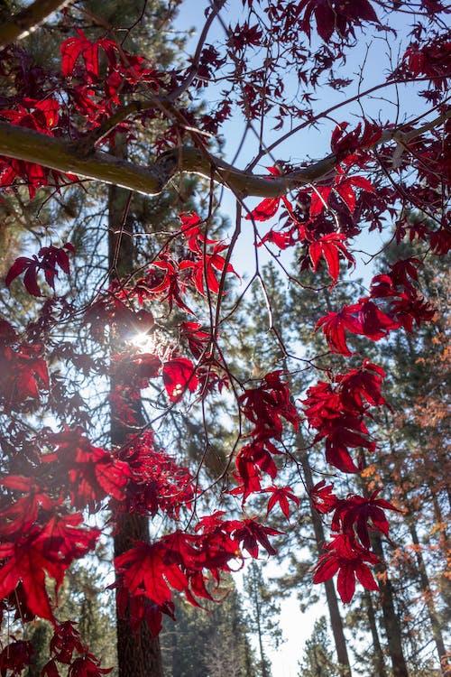 Photos gratuites de arbre, couleurs, nature, rouge