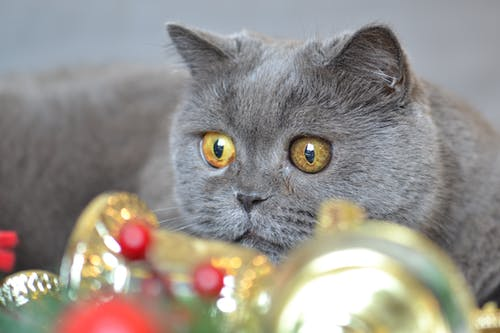 Foto profissional grátis de cara de gato, decoração de Natal, gato, gato de pelo curto inglês