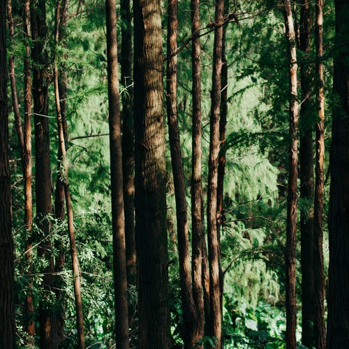 Δωρεάν στοκ φωτογραφιών με δασικός, δάσος, δέντρα, κωνοφόρο