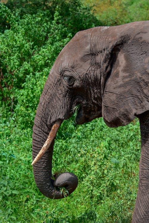 คลังภาพถ่ายฟรี ของ ช้าง, ช้างแอฟริกา, ซาฟารี
