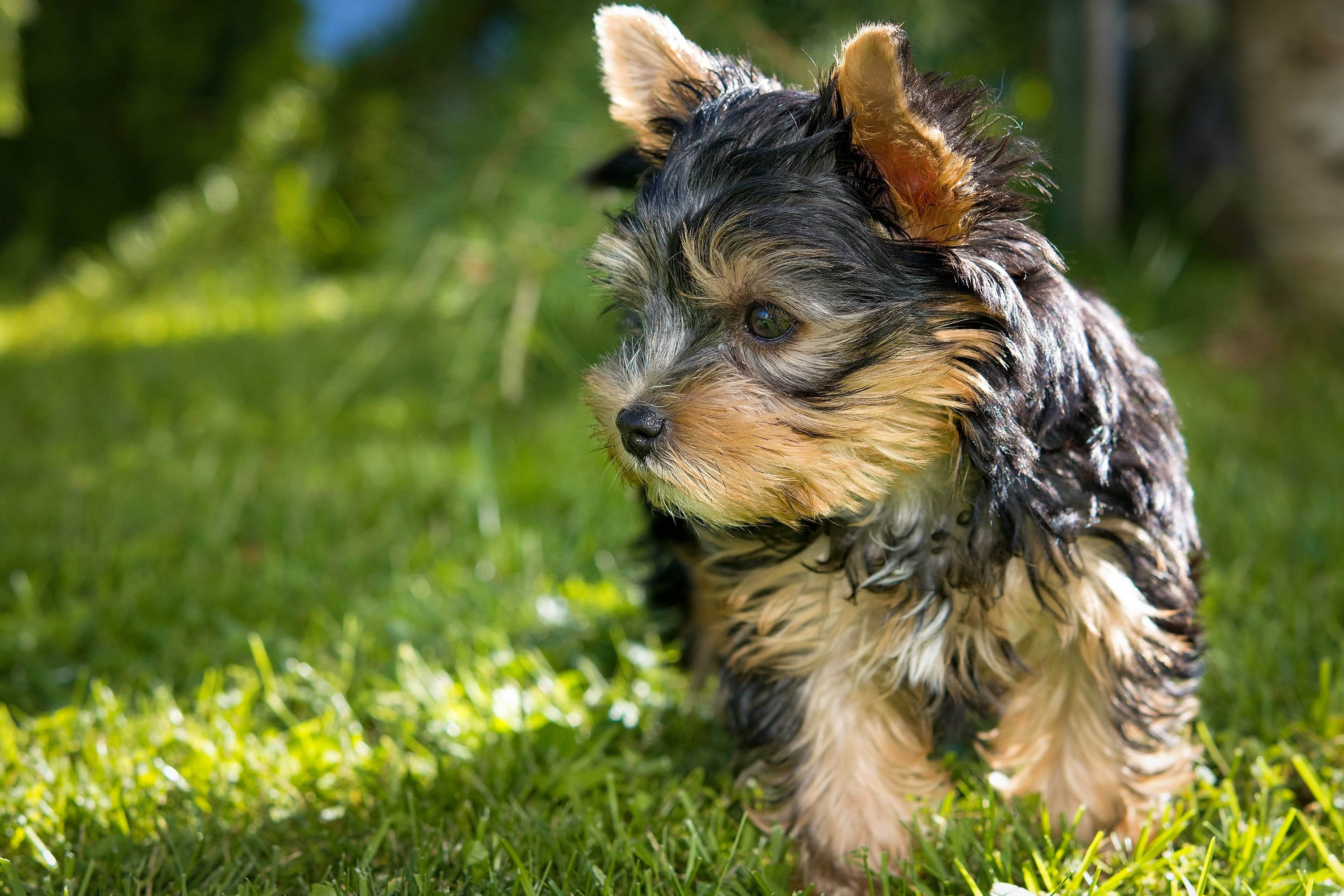 Black Tan Yorkshire Terrier