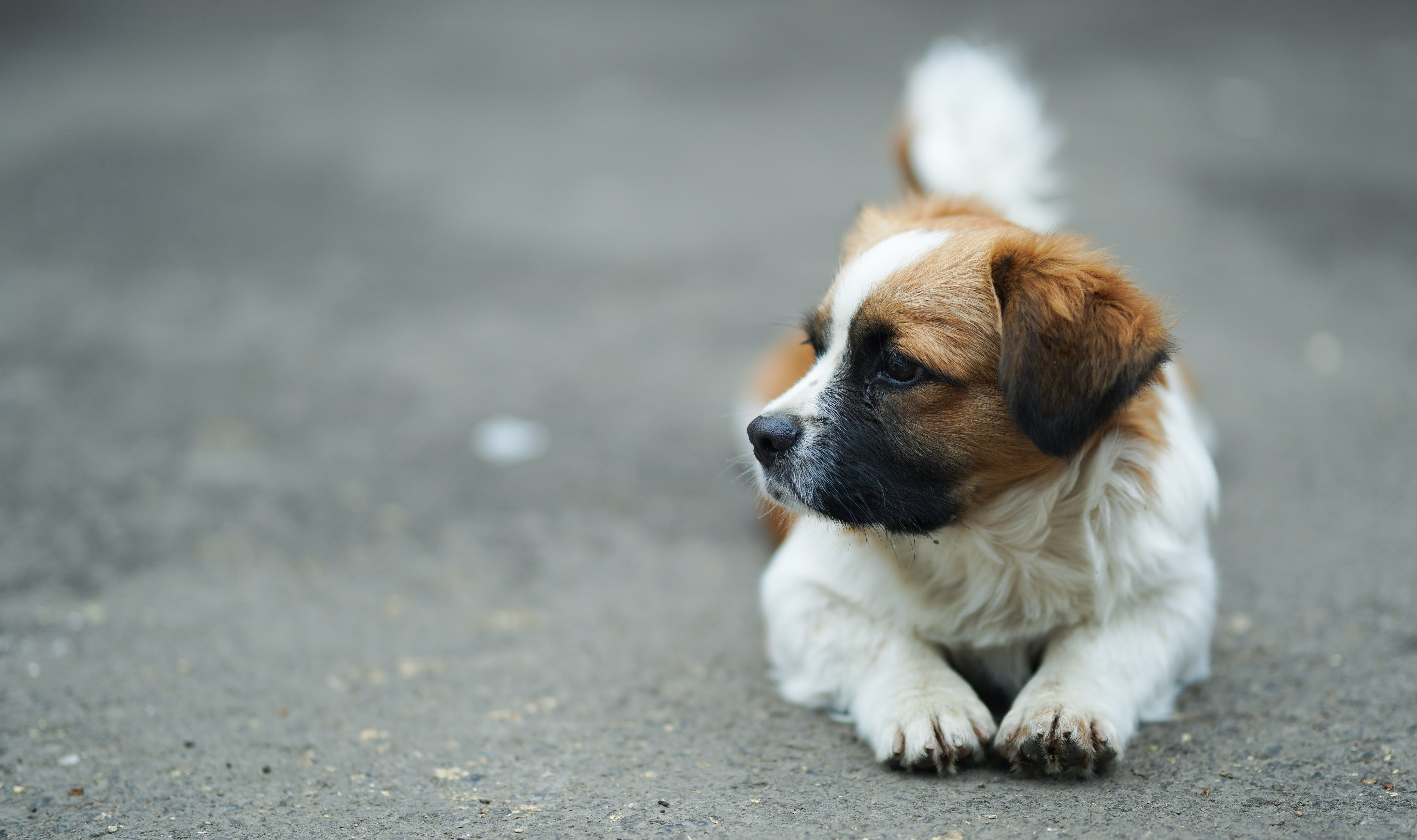 Brown and White St. Bernard Puppy on Selective Focus Photo