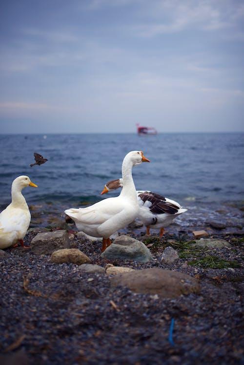 ガチョウ, ビーチ, 動物, 岩の無料の写真素材