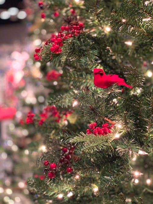 Kostenloses Stock Foto zu kardinal, weihnachten