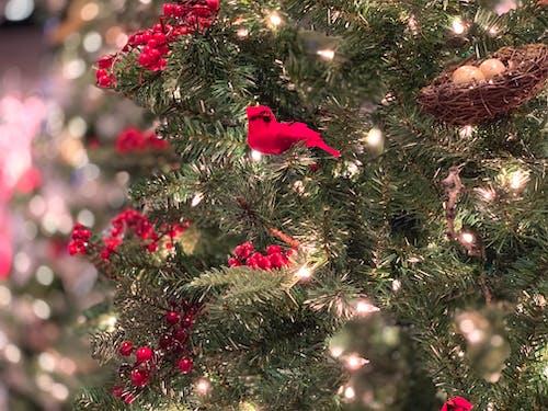 Immagine gratuita di cardinale, cardinale di natale, decorazioni natalizie, natale