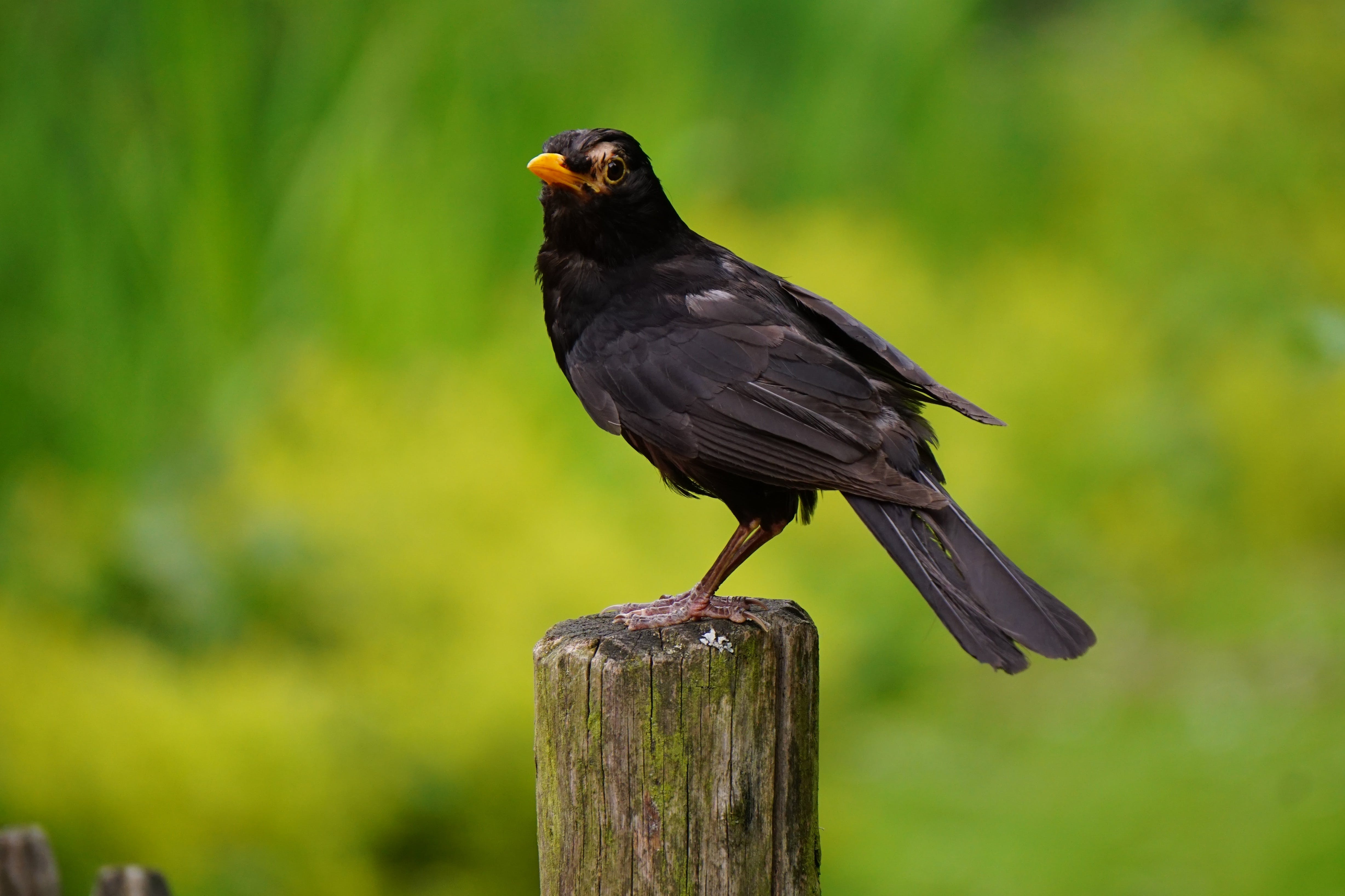 Black Bird Perched on Brown Wooden Pedestal Closeup Photography during Daytime