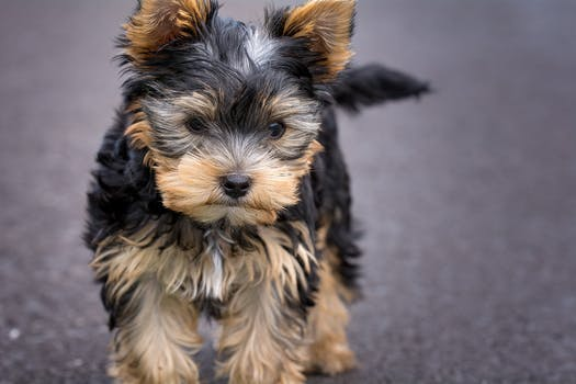 tan yorkie black and tan yorkshire terrier puppy closeup photography 4873