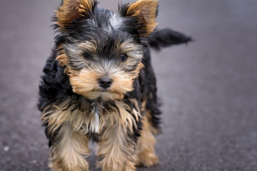 Black and Tan Yorkshire Terrer Puppy