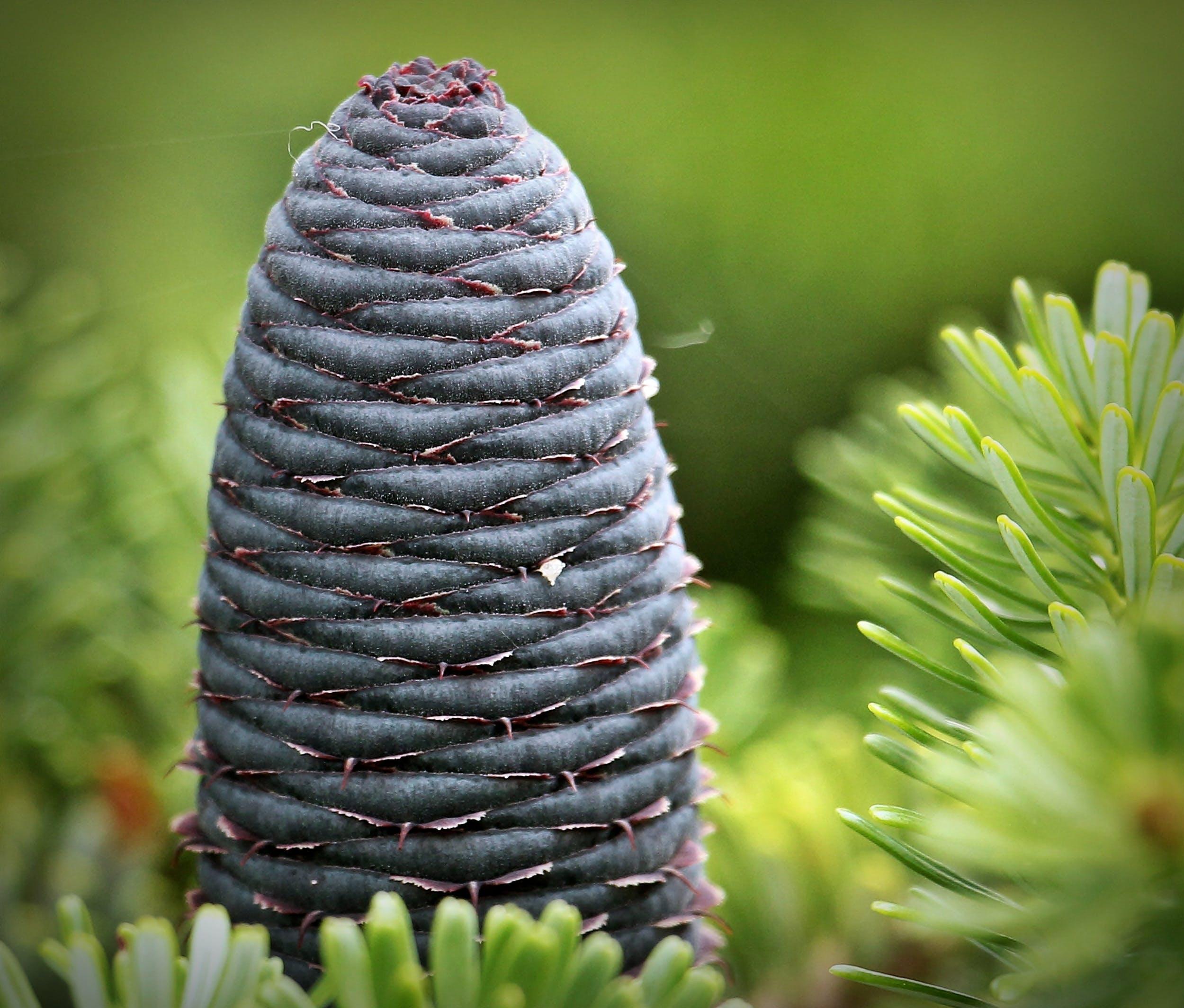 Foto d'estoc gratuïta de arbre, avet, avet coreà, con