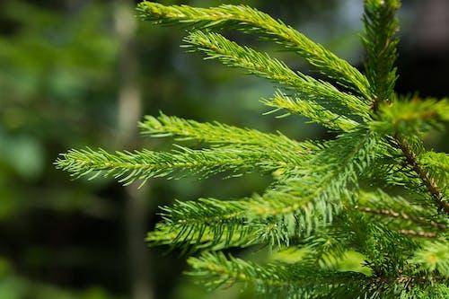 คลังภาพถ่ายฟรี ของ ต้นสน, ต้นสนเฟอร์, พร่ามัว, สีเขียว