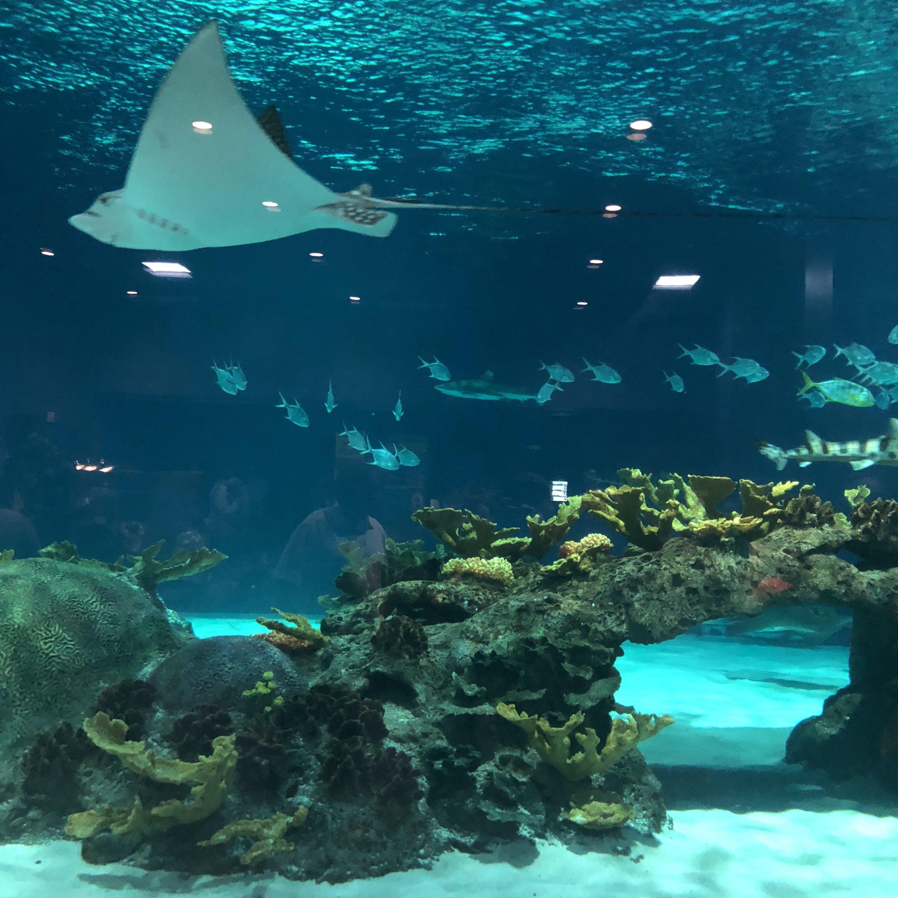 Free stock photo of aquarium, stingray