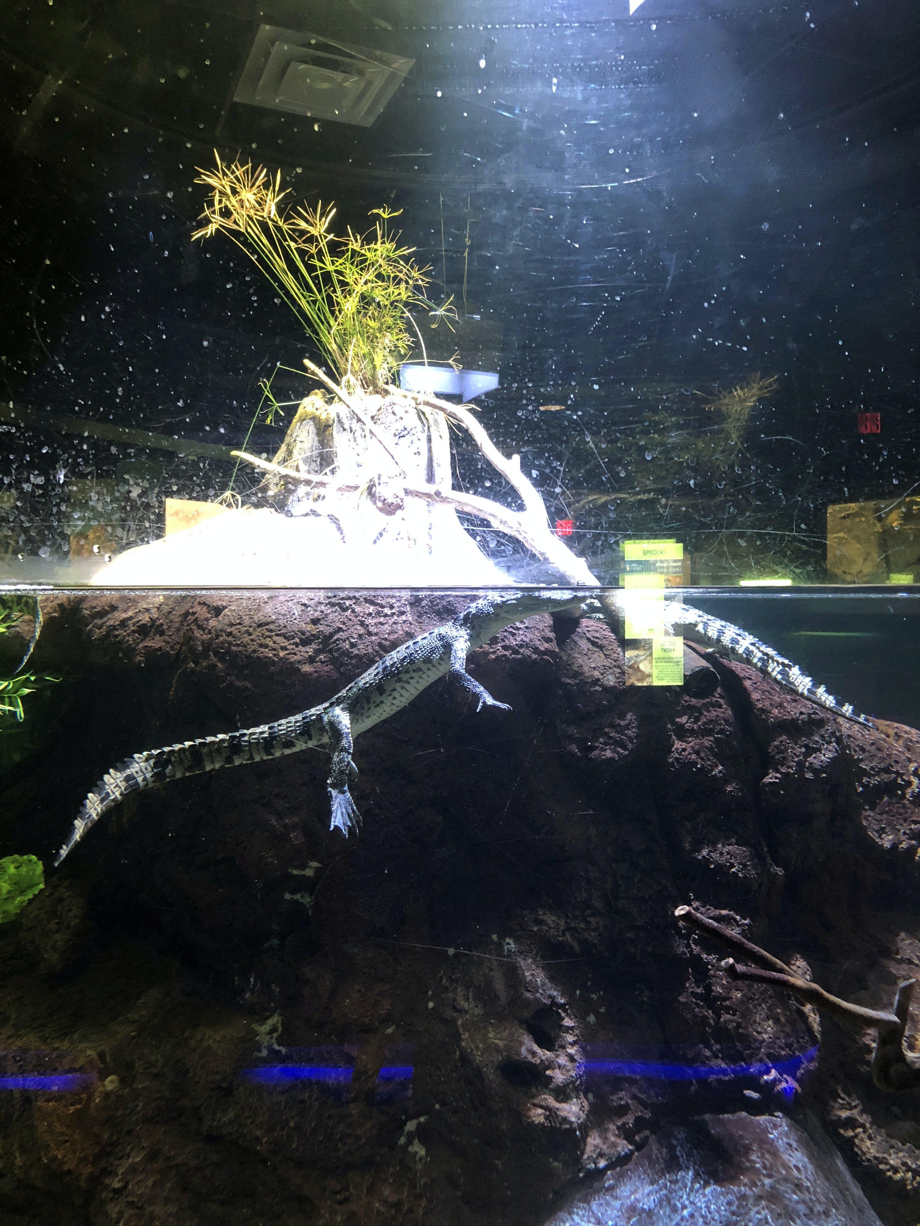 Free stock photo of alligator, aquarium