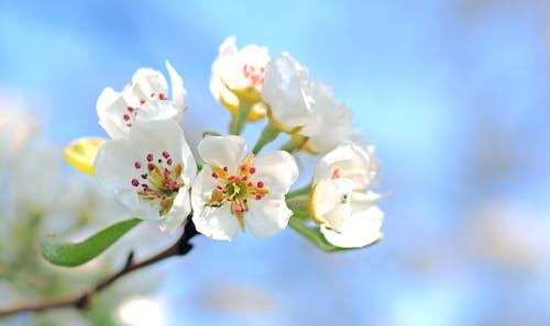 Fotobanka sbezplatnými fotkami na tému detailný záber, flóra, hruškové kvety, jarný kvet
