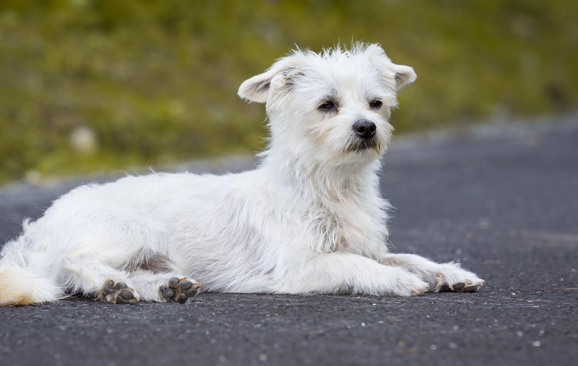 White Long Coated Dog