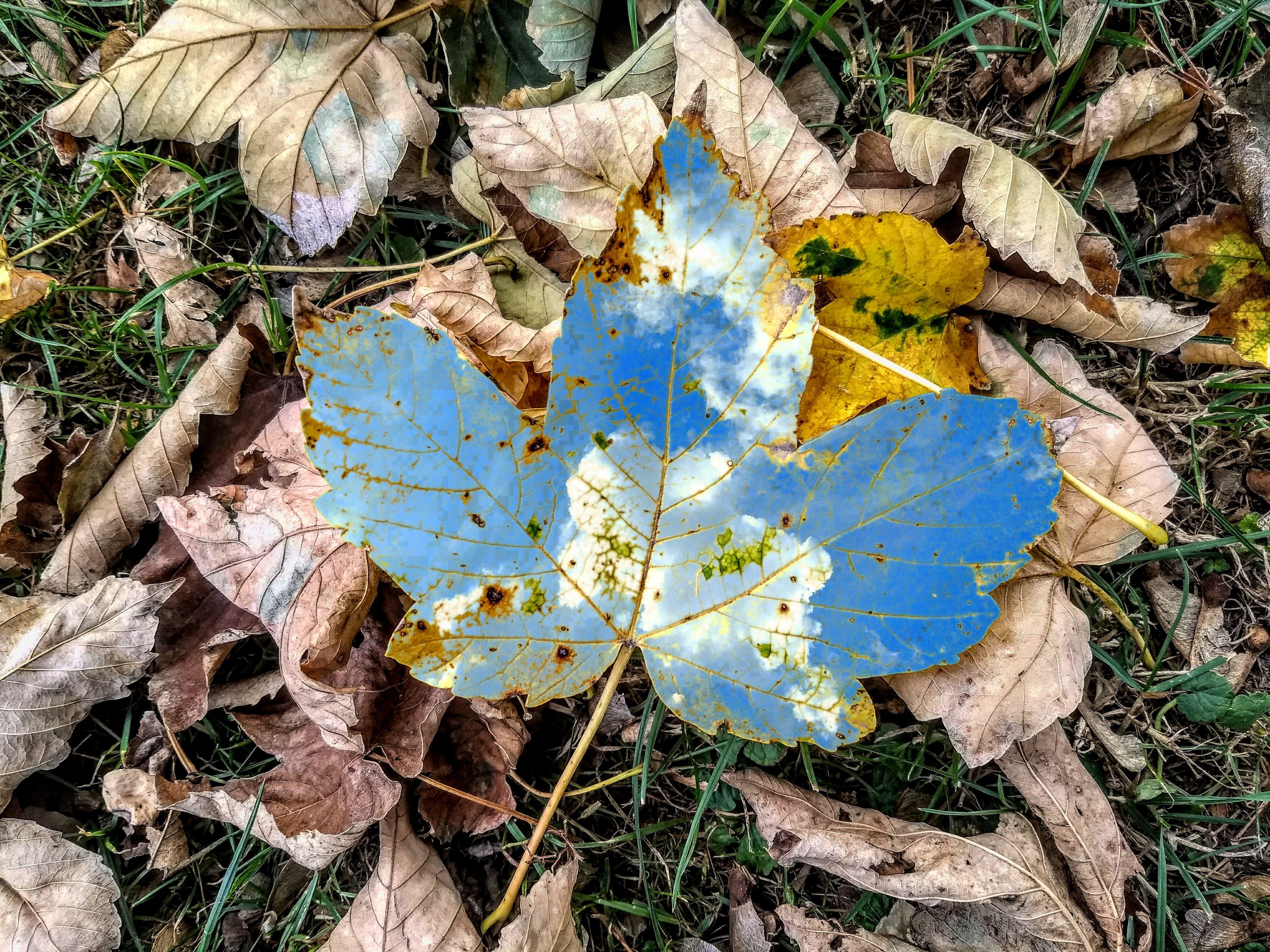Free stock photo of autumn, autumn leaves, blue sky, blues