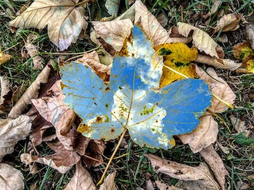 Foto stok gratis blues, daun gugur, daun musim gugur, kenangan