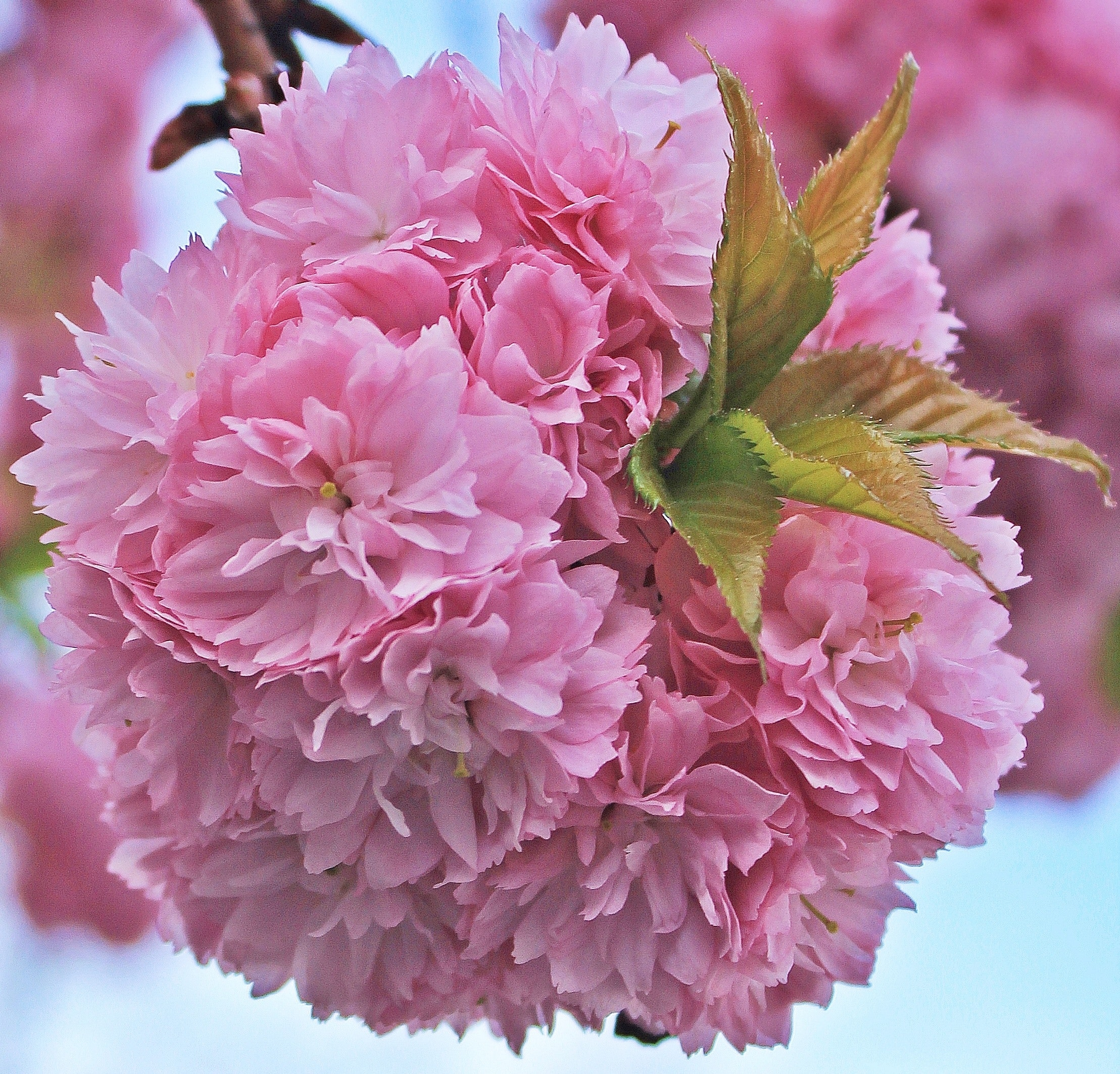 Free Stock Photo Of Bloom Blossom Japanese Cherry Blossom