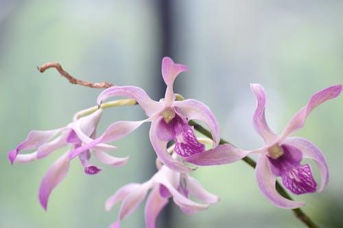 斯里蘭卡, 紫色, 紫色兰花, 美麗的花朵 的 免费素材照片