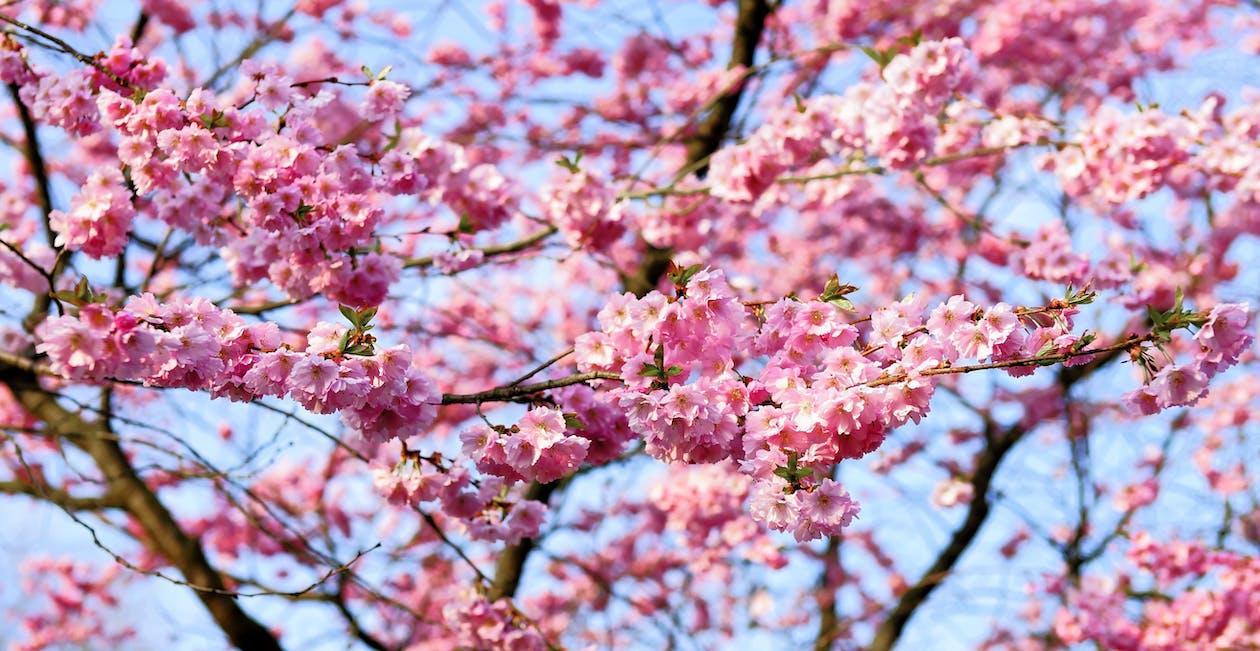 bloom, blossom, bud