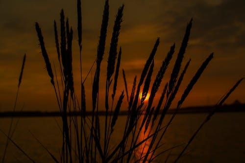 Foto d'estoc gratuïta de alba, arbust, canya, capvespre