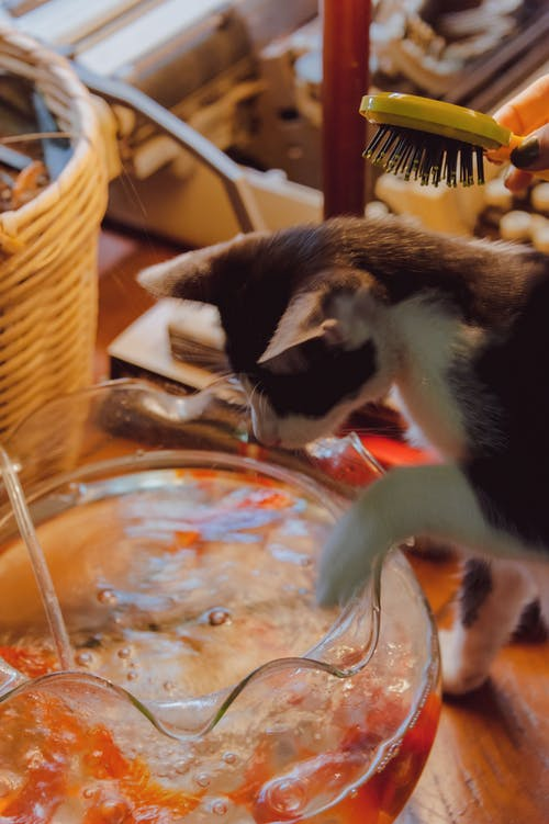 Calico Cat to Touch Bowl of Juice