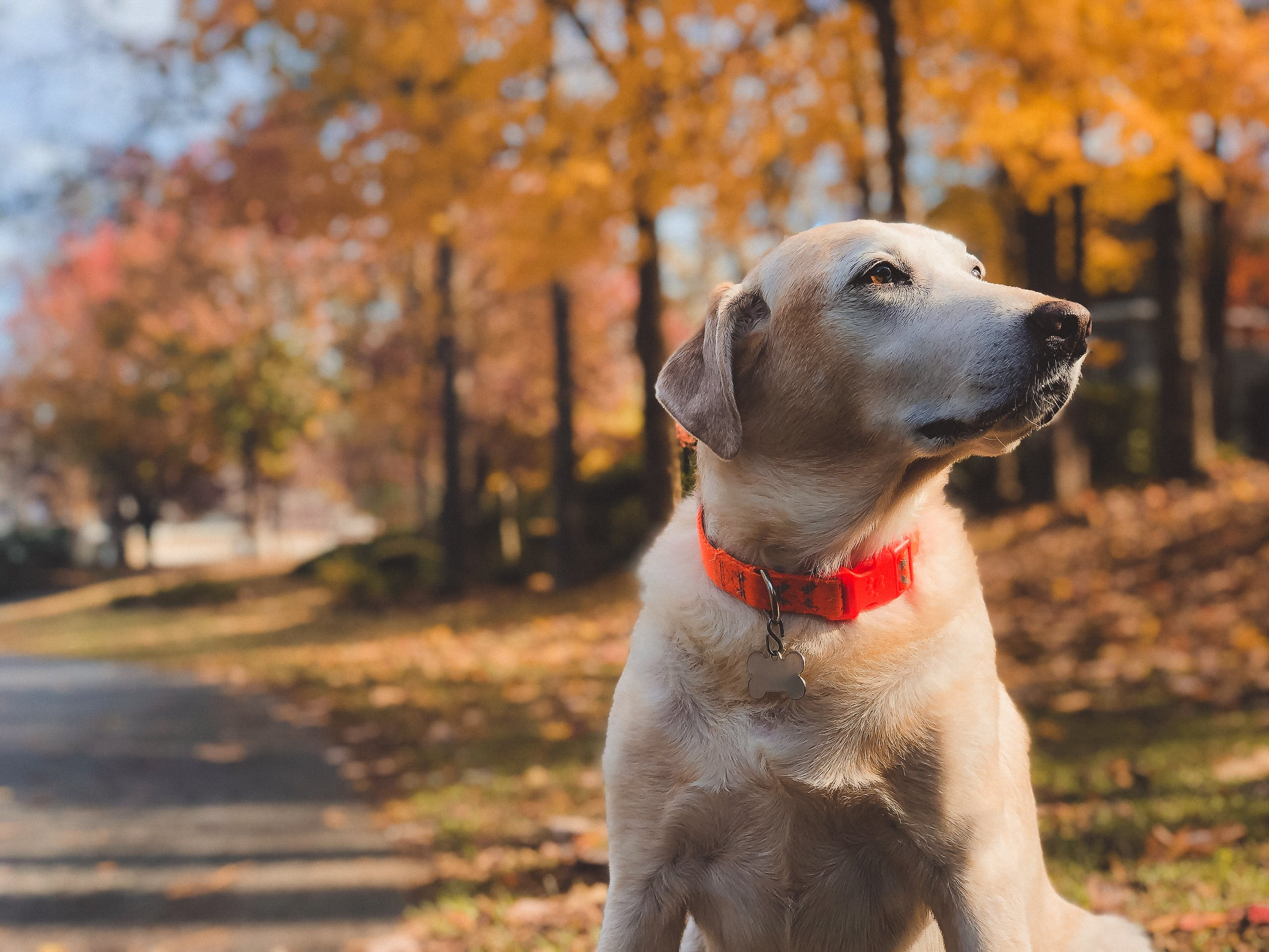 Shallow Focus Photography of Adult Yellow Labrador Retriever Sitting on Roadside during Day