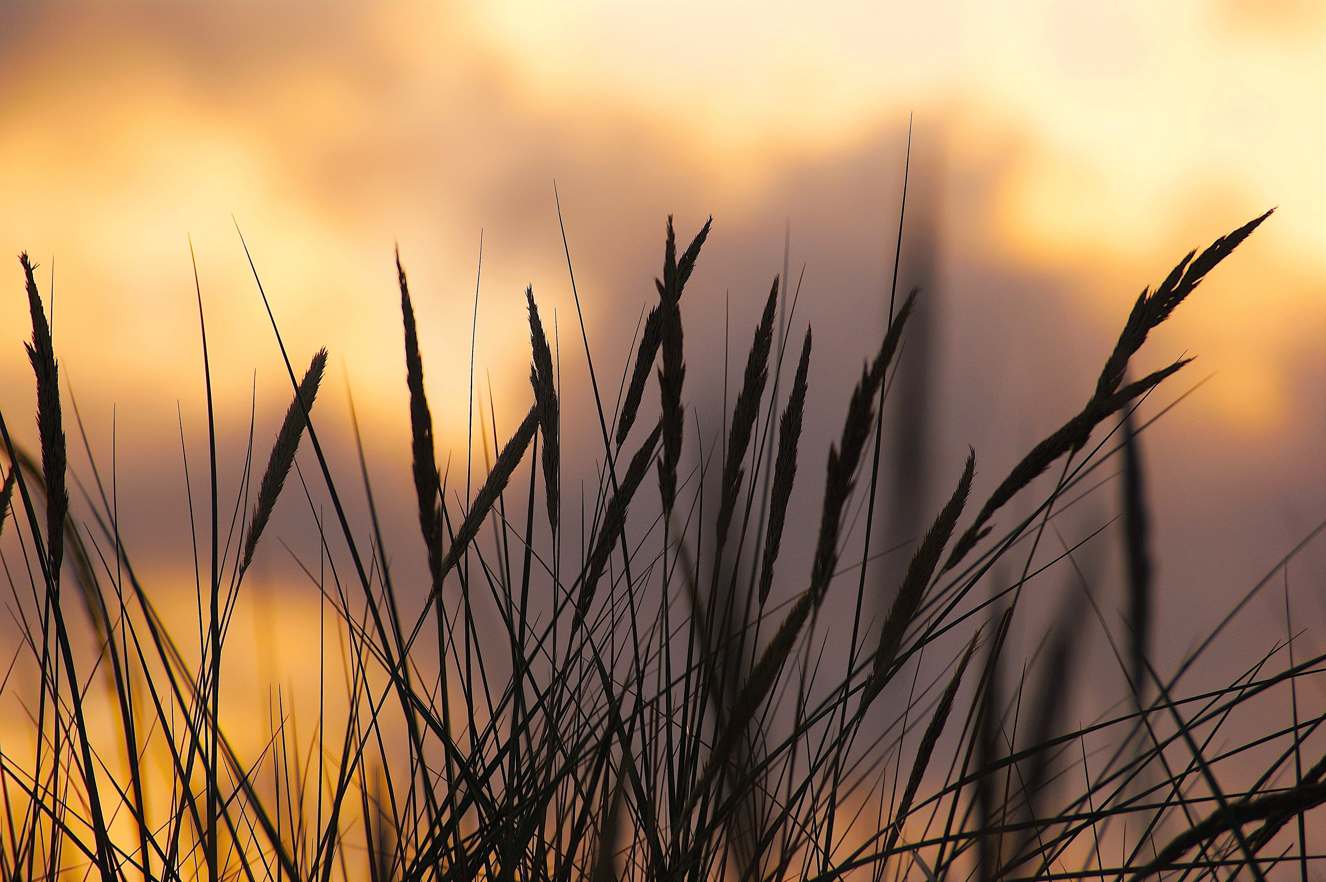 Silhouette Photo of Wheat during Sunset