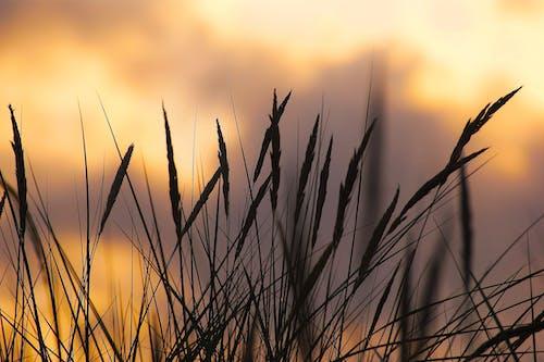 Ingyenes stockfotó búza, este, farm, fű témában