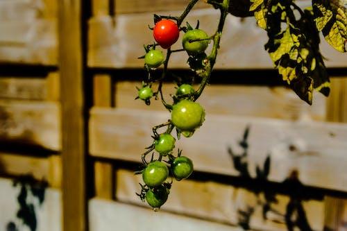 Free stock photo of cherry tomatoes, dramatic, gardening