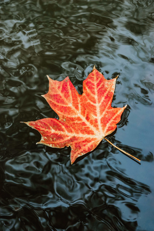 Kostenloses Stock Foto zu ahornblatt, blatt im wasser, farben, hell