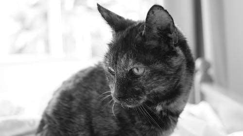 Základová fotografie zdarma na téma černobílý, domácí, domácí mazlíček, jednobarevný