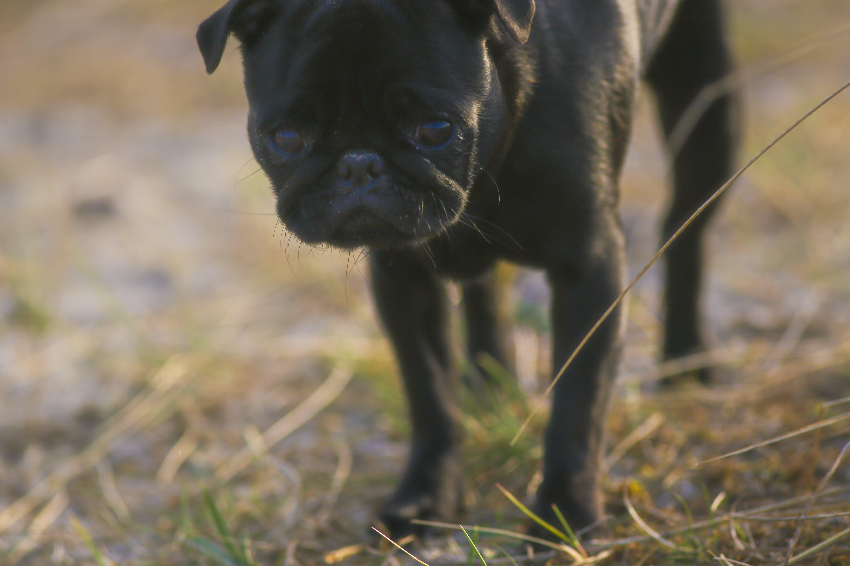 Free stock photo of black, cute, dog, litle