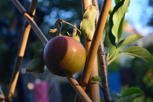 คลังภาพถ่ายฟรี ของ ต้นแอปเปิ้ล, ต้นไม้, ฤดูร้อน, สด