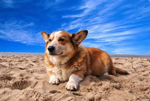 corgi, Evcil Hayvan, hayvan, köpek içeren Ücretsiz stok fotoğraf
