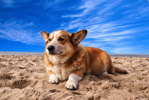 Pembroke Welsh Corgi Lying on the Sand Under White Cloud Blue Sky