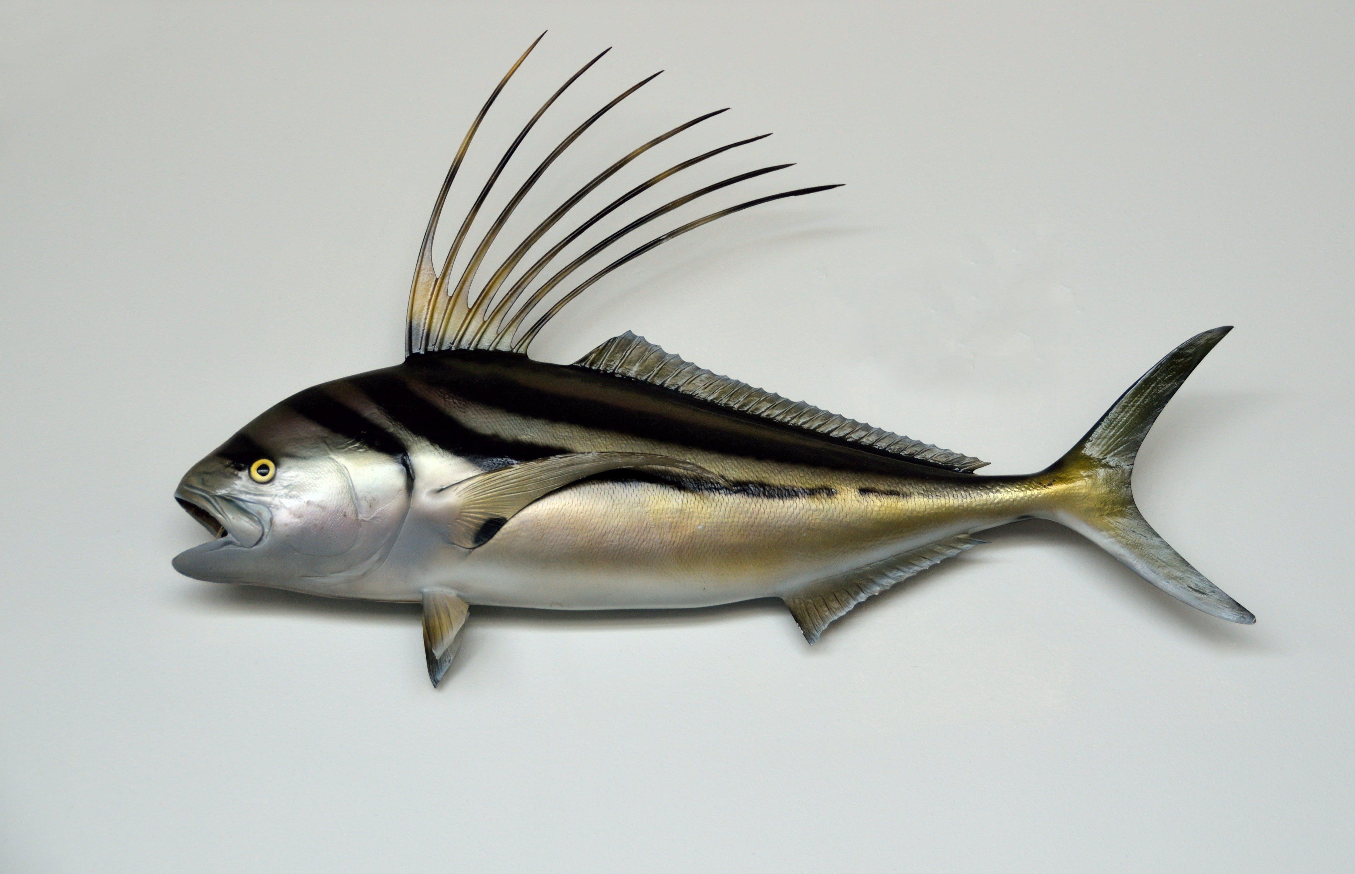 Free stock photo of animal, deep sea, fishing, mount