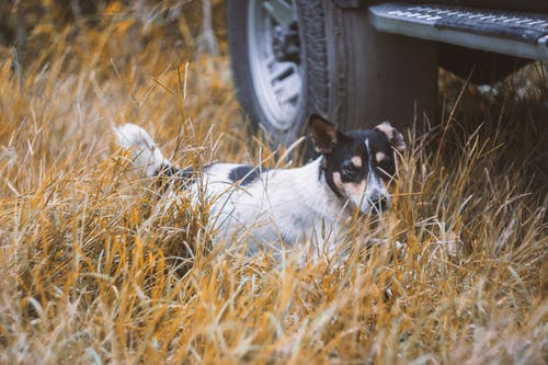 Photo of Rat Terrier on the Grass Beside a Vehicle